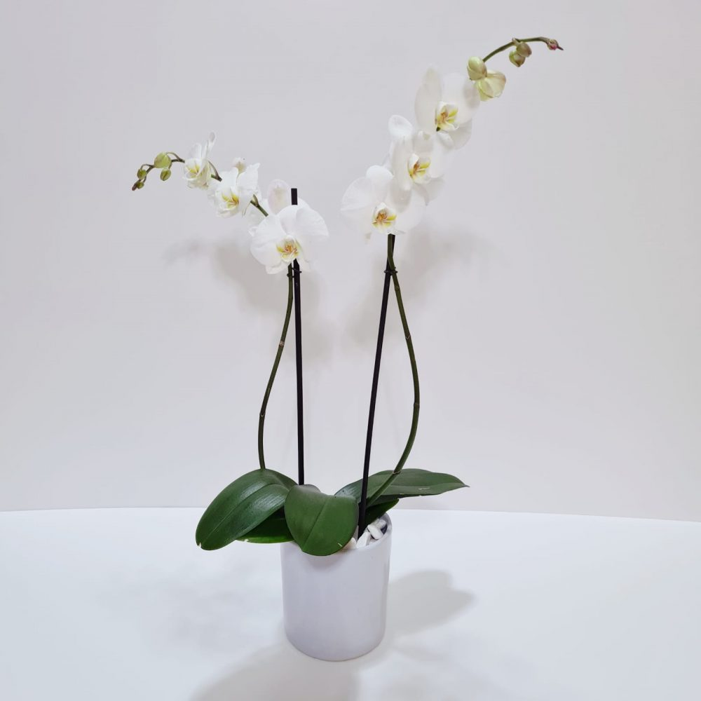Arreglo de orquídea phalaenopsis